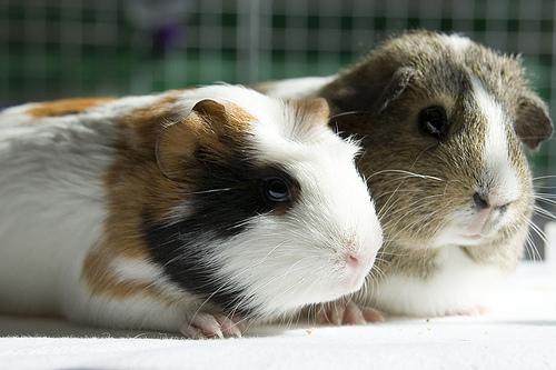 Guinea Couple