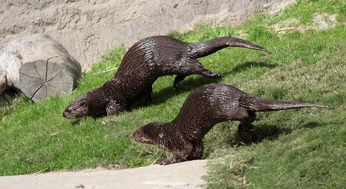 Otter Couple