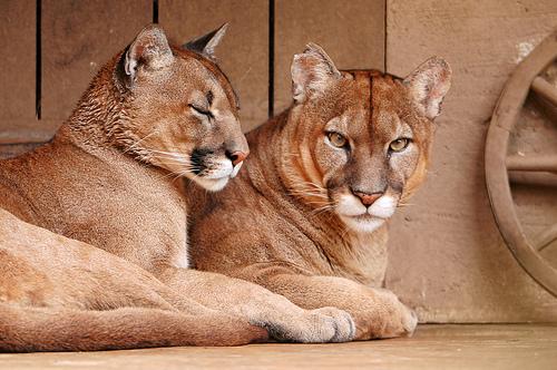 Puma Couple