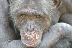 Nelspruit - Chimp Sanctuary