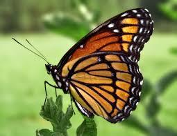 Pietermaritzburg - butterflies