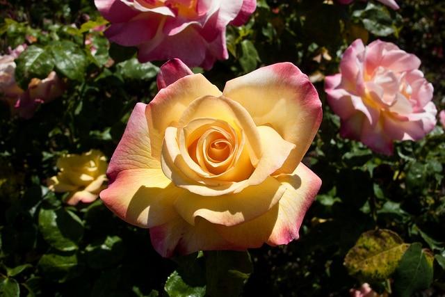 Rose Garden_San Jose