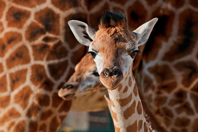 Giraffe Ranch_Orlando